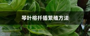 琴葉榕扦插繁殖方法