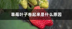 草莓葉子捲起來是什麼原因