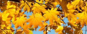楓樹是什麼季節盛開的